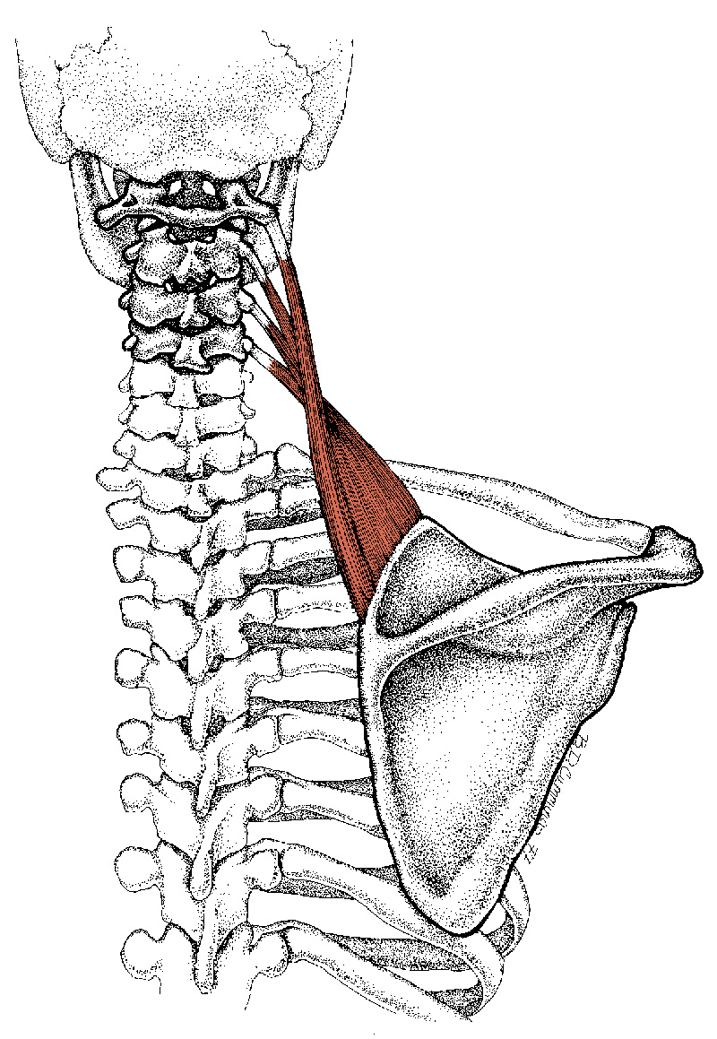 neck and shoulder muscles coloring pages