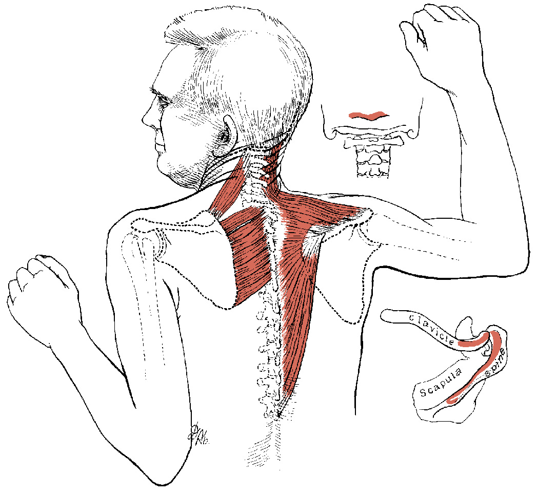 Do You Have Trapezius Muscle Spasm In Your Upper Back Simple Back